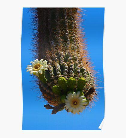 Southwest Giant Saguaro Cactus Bloom Poster