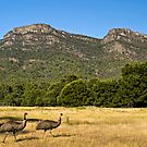 Emus in the Grampians by Pascal and Isabella Inard