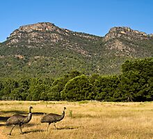 Emus in the Grampians by Pascal Inard
