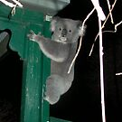 Koala took a wrong turn by BronReid