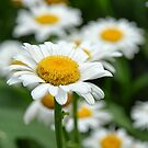Daisies by Colleen Drew