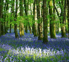 Sun  dappled  bluebell  woods. Ireland by EUNAN SWEENEY