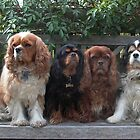 Full set of Cavalier King Charles Spaniel hues by BronReid