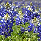 Bluebonnets by Colleen Drew