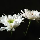 Glowing White Chrysanthemums 8 by Christopher Johnson