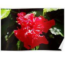 Red layered hibiscus Poster