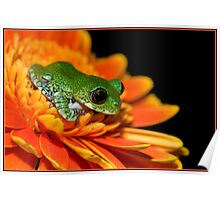 Peacock frog Poster