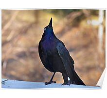 Common Grackle - What Up There? Poster