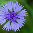 Corn Flower by Marita Sutherlin