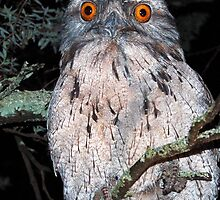 Tawny Frogmouth - NSW by CasPhotography