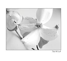 Dogwoods in Black and White Photographic Print
