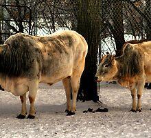 Brahman Cattle by Larry Trupp