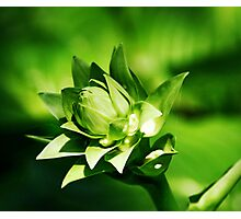 Layered Green Buds Photographic Print