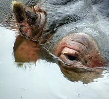 Happy Hippo by tmtphotography