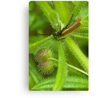 Darkling Beetle and parasite Canvas Print