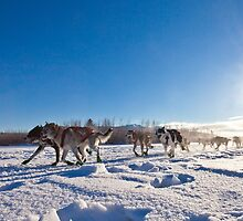 Yukon Quest dog team pulling sled by ImagoBorealis