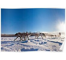 Yukon Quest dog team pulling sled Poster