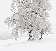 Winter tree and sheep, Wales by Alex Ramsay