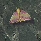 Rosy Maple Moth by Michael Douglas Jones