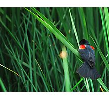 Red-winged Black Bird Photographic Print