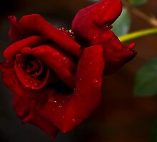 Red 'n Fragrant Rose - Hybrid Tea by RatManDude