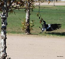 Magpie eating nuts by Penny Brooks