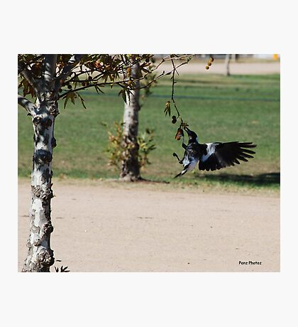 Magpie eating nuts Photographic Print
