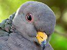 "Band-tailed ""Cutie Pie"" Pigeon by Kimberly Chadwick"