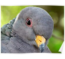 "Band-tailed ""Cutie Pie"" Pigeon Poster"