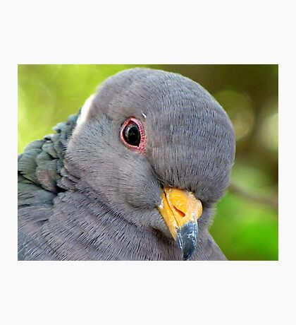 "Band-tailed ""Cutie Pie"" Pigeon Photographic Print"