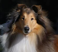 Majestic Collie by Penny Brooks