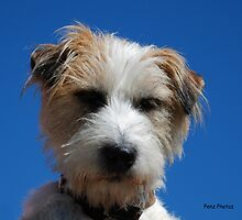 Jack Russell Terrier by Penny Brooks