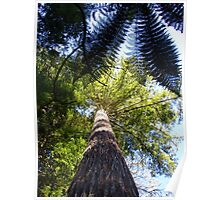 Redwood Forest, Rotorua, New Zealand Poster