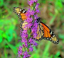 The Grand Monarch Butterfly by Catherine  Howell