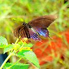 Gorgeous Black Swallowtail by Catherine  Howell