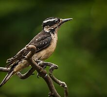 FEMALE HAIRY WOODPECKER by Sandy Stewart