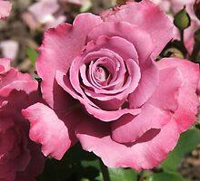 Rose (4657) by ScenerybyDesign