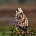 Kestrel - ( low angle) by Ahiraj Bhat
