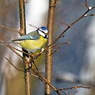 Blue tit 3 by David Freeman