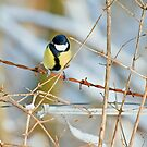 Great Tit 3 by David Freeman