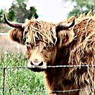 Wooly Bully by Barb Miller