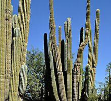 Tall Cacti by Doug Greenwald