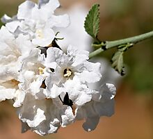 White Flower Clump by Doug Greenwald