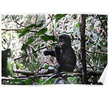Gorilla Jr - Bwindi Impenatrable National Park, Uganda. Poster