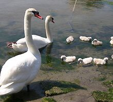 swans  by Olsen