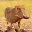 Warthog - Uganda by Derek McMorrine