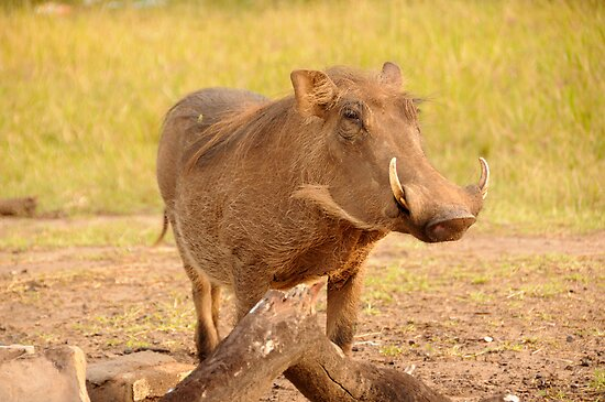 Warthog - Uganda by Derek McMorrine