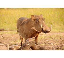 Warthog - Uganda Photographic Print