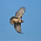 1st Year Eastern RedTail Hawk by Lynda  McDonald