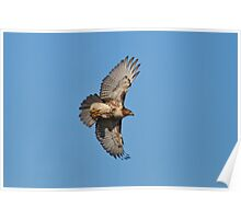1st Year Eastern RedTail Hawk Poster